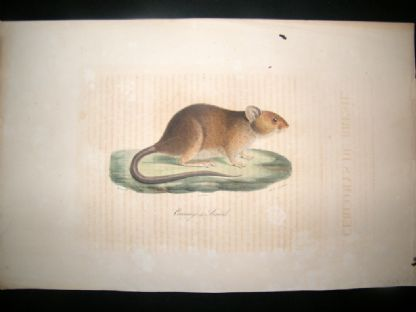 Saint Hilaire & Cuvier C1830 Folio Hand Colored Print. Cercomys of Brazil | Albion Prints